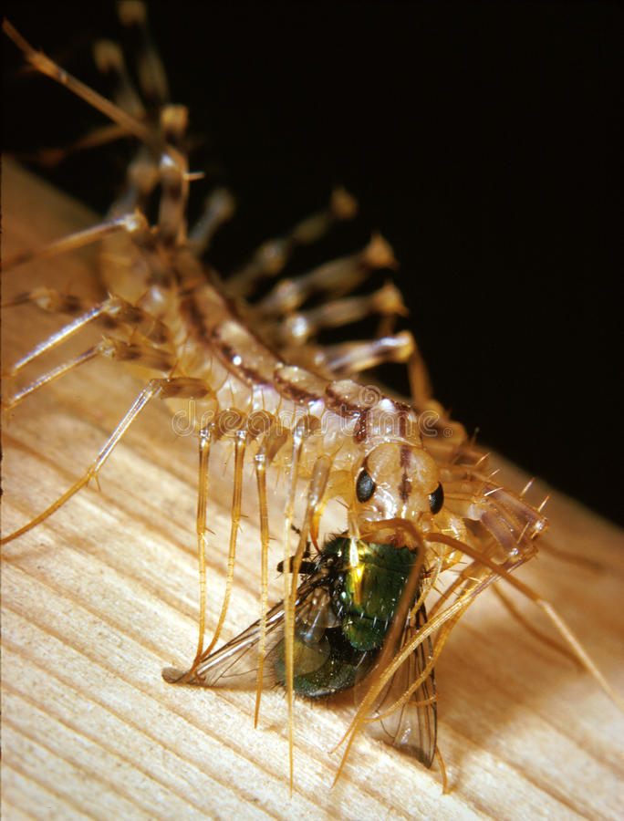 Common House Centipede Feeds on a Captured Fly stock photography