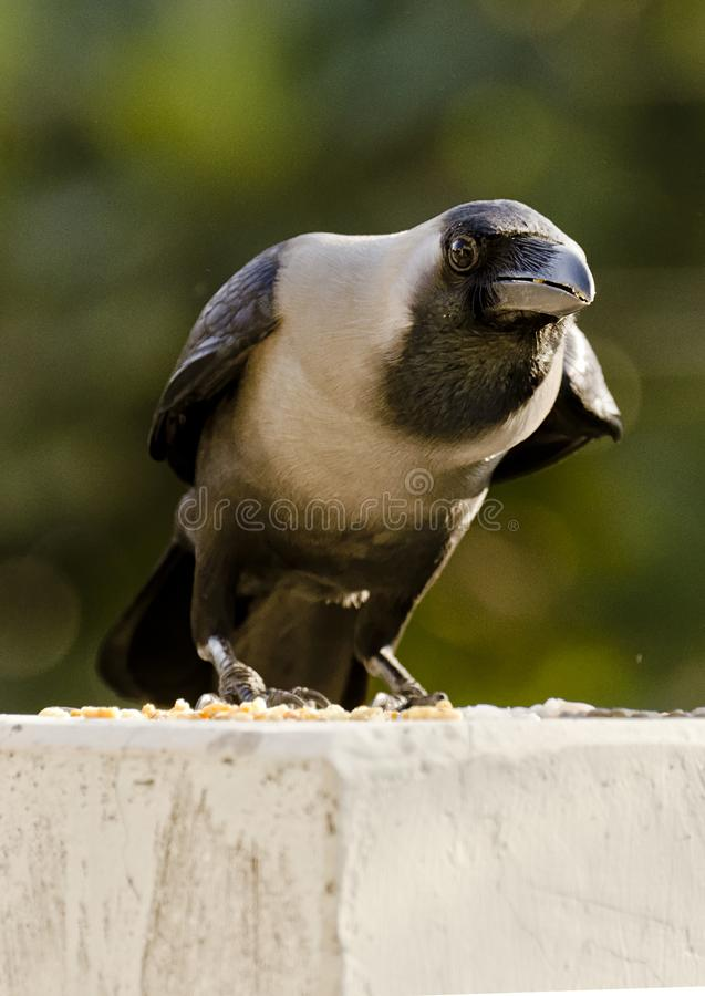 A common house crow royalty free stock photos