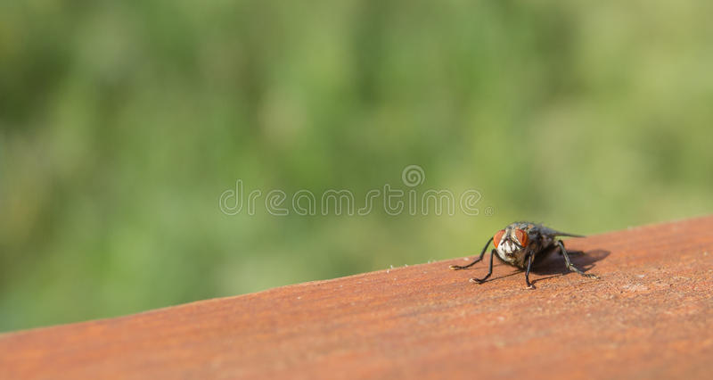 Common House Fly on brown surface stock photo