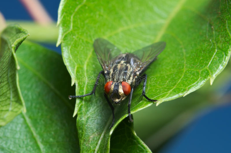 Common house fly royalty free stock photo