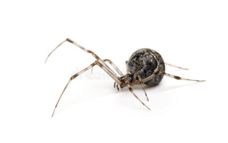 Common House Spider - Achaearanea Tepidariorum Stock Photo