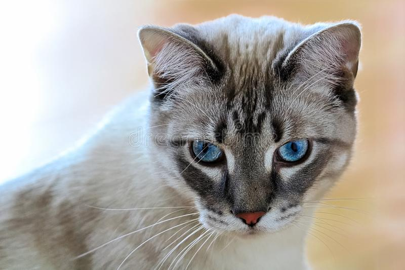 A common housecat with vibrant blue eyes with a peach background.  royalty free stock photos