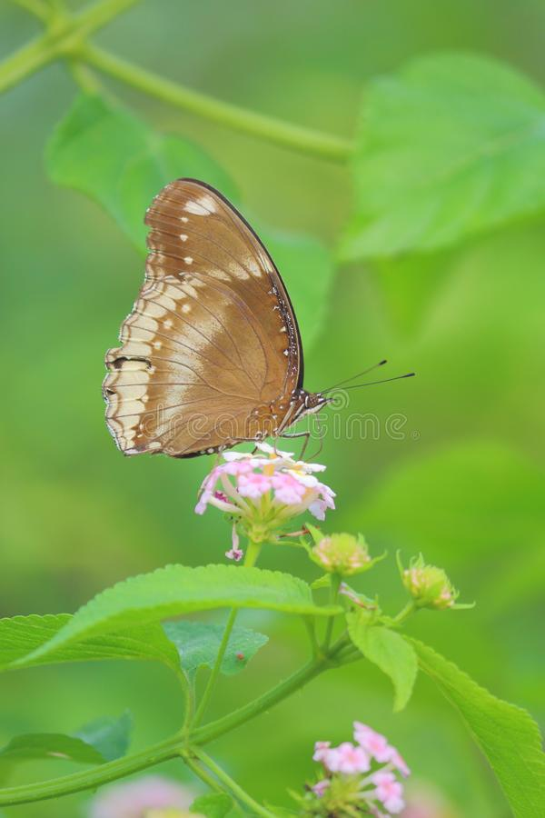 Common Indian crow butterfly. Butterfly on a flower of wild plant. beautiful green natural background and beautiful natural views. picture click at banswara royalty free stock photos