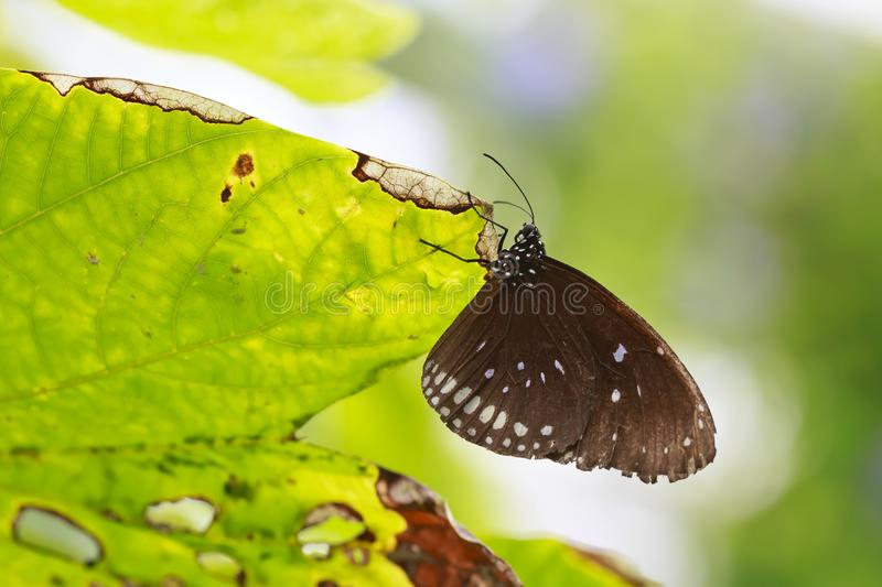 Common Indian Crow butterfly Euploea core resting on a green l stock image