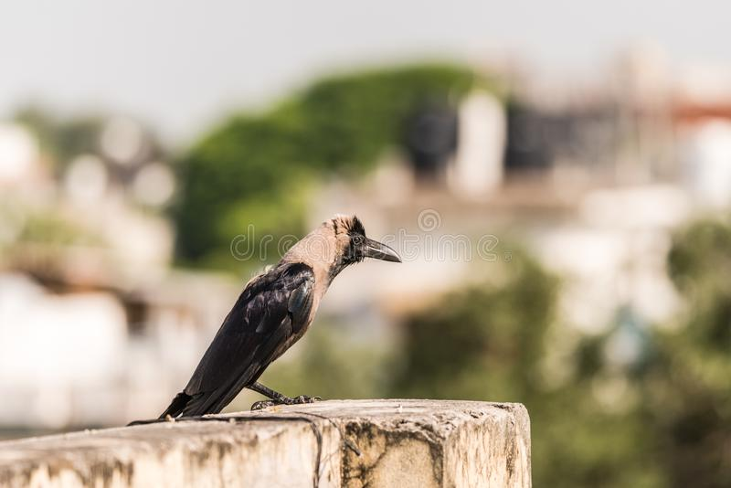House crow perched. Common Indian house crow perched over a structure royalty free stock photo