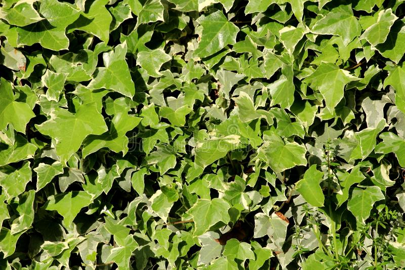 Common ivy or Hedera helix clinging evergreen vine plant densely planted to completely cover house wall with leaves as texture. Common ivy or Hedera helix or royalty free stock photos