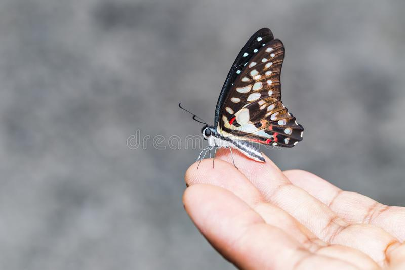 Common jay butterfly Graphium doson resting on human finger stock photography