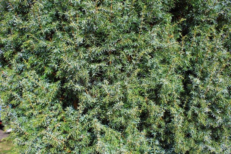Common juniper Juniperus communis background texture. Common juniper Juniperus communis as a background texture royalty free stock images