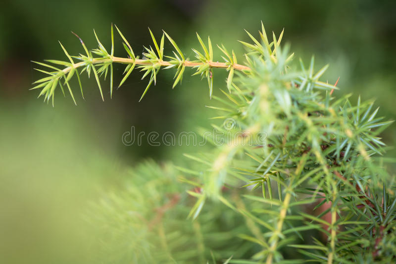 Common juniper (Juniperus communis). Detail of a juniper plant in family Cupressaceae showing needles and stems stock photo