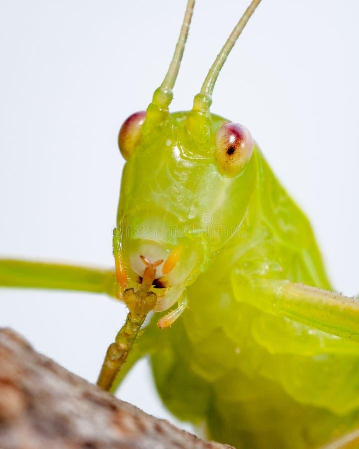 Common katydid. Australian common katydid Caedicia simplex sticking up its appendage royalty free stock image