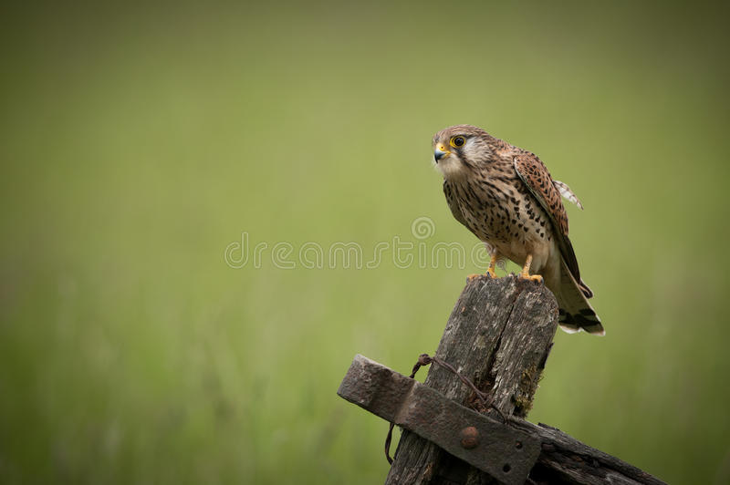 Common Kestrel. A female Common Kestrel (Falco tinnunculus). She is perched on an old wooden field gate, looking for prey stock image