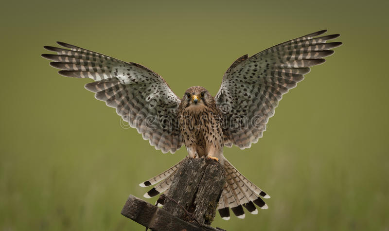 Common Kestrel. A female Common Kestrel landing on an old wooden gate with wings out stretched stock photography