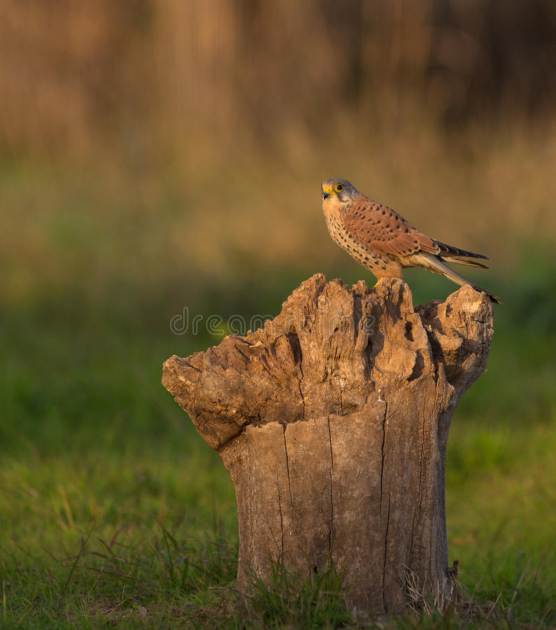 Common Kestrel. A Common Kestrel (Falco tinunculus) perches on a log in the early morning sun royalty free stock photo