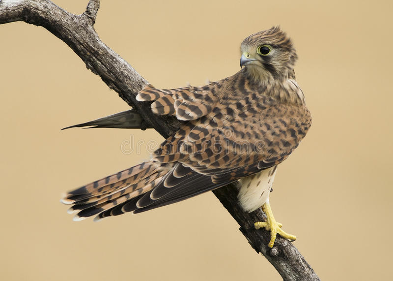 Common kestrel bird. Beautiful, young common kestrel bird royalty free stock image
