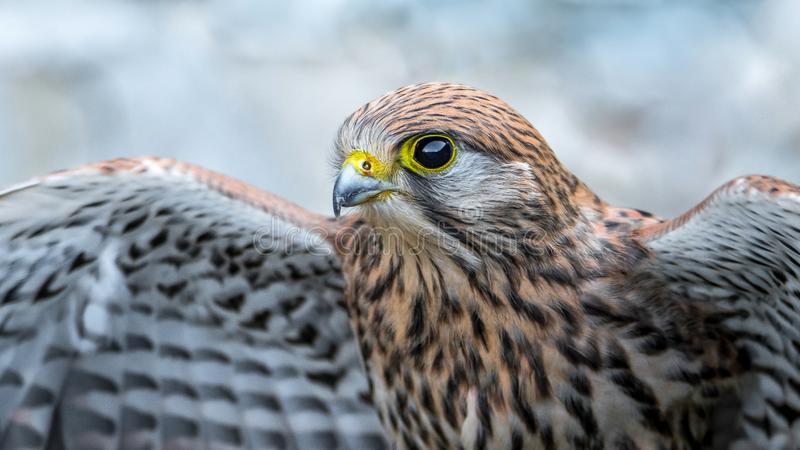 Common kestrel, bird of prey. The common kestrel is a bird of prey species belonging to the kestrel group of the falcon family Falconidae. It is also known as royalty free stock photography