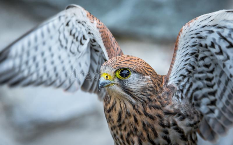 Common kestrel, bird of prey. The common kestrel is a bird of prey species belonging to the kestrel group of the falcon family Falconidae. It is also known as stock image