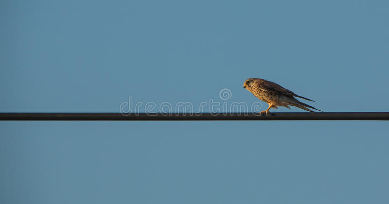 Common Kestrel on cable evening light stock image