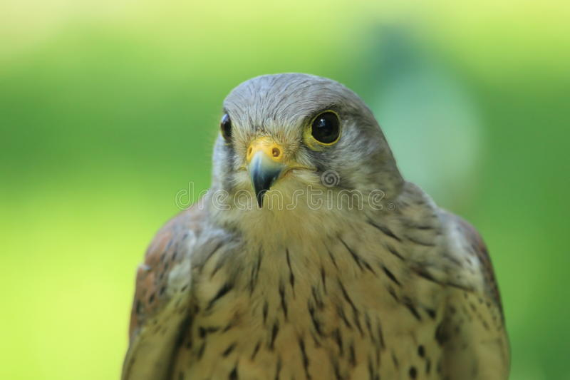 Common kestrel. The detail of adult common kestrel stock image