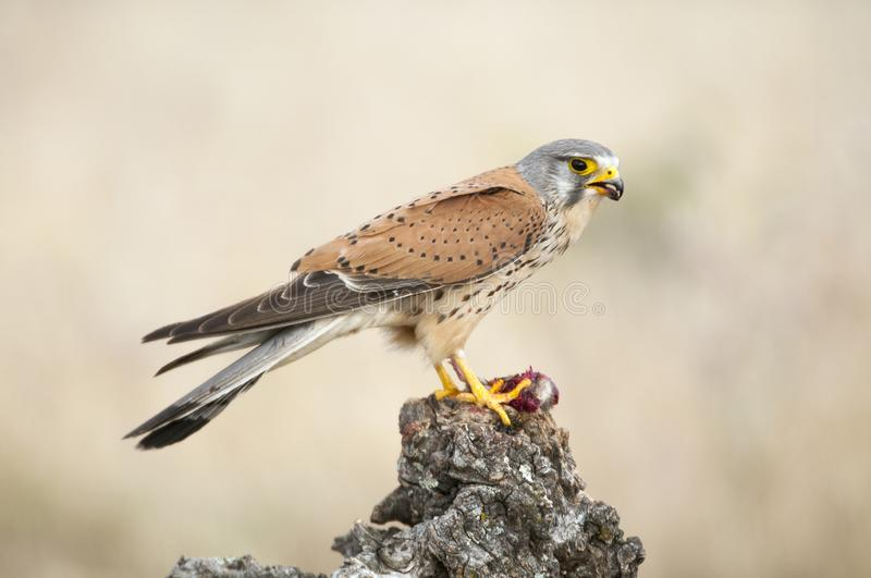 Common kestrel eating a mouse - Falco tinnunculus. In natural habitat royalty free stock photo