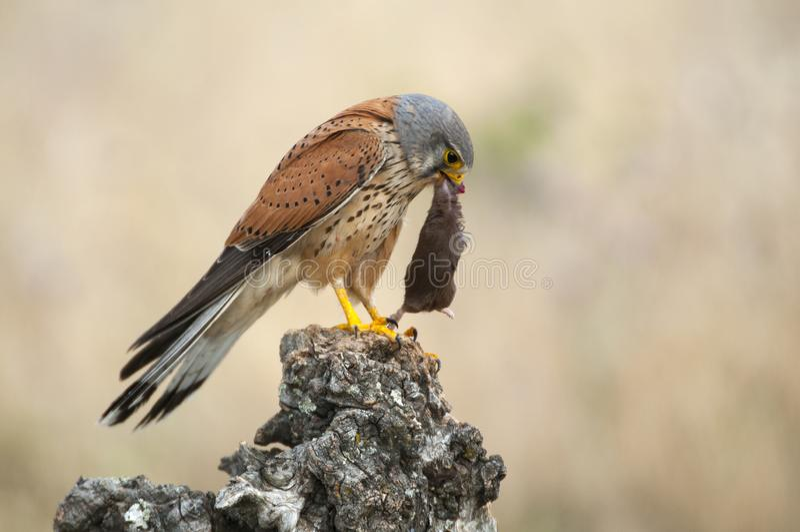 Common kestrel eating a mouse - Falco tinnunculus. In natural habitat stock image