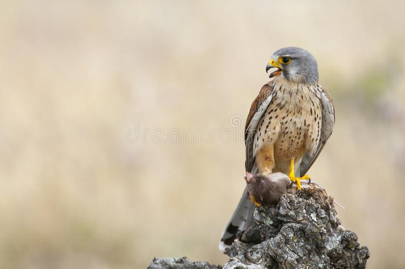 Common kestrel eating a mouse - Falco tinnunculus. In natural habitat stock images
