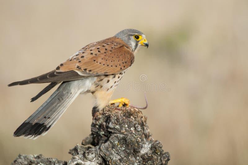 Common kestrel eating a mouse - Falco tinnunculus. In natural habitat stock photo