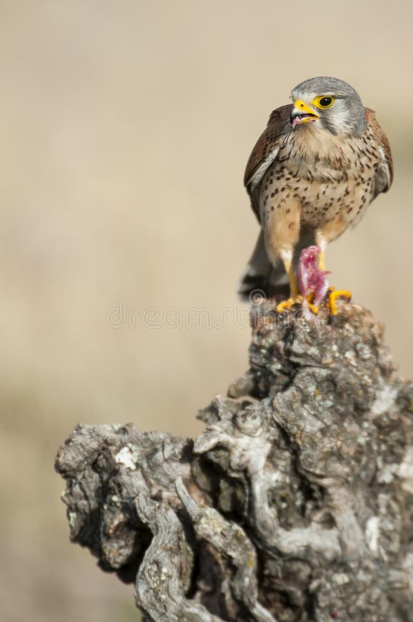 Common kestrel eating a mouse - Falco tinnunculus. In natural habitat royalty free stock image