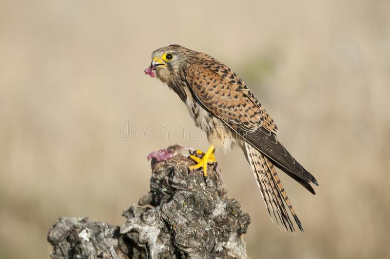 Common kestrel eating a mouse - Falco tinnunculus. In natural habitat royalty free stock photography
