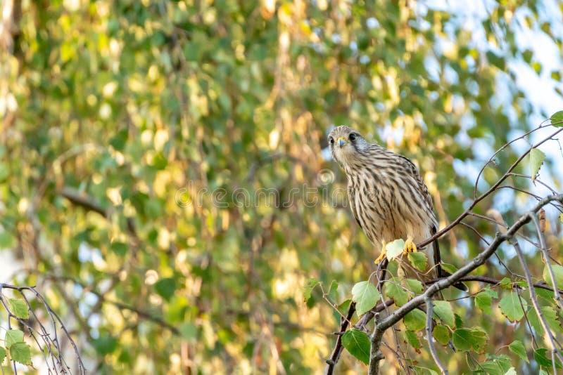 Common Kestrel Falco tinnunculus striking a pose. Taken in Richmond, England stock photo
