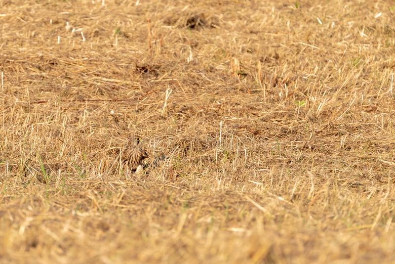 Common Kestrel Falco tinnunculus camouflage. D in the grass, taken in Richmond, England stock images