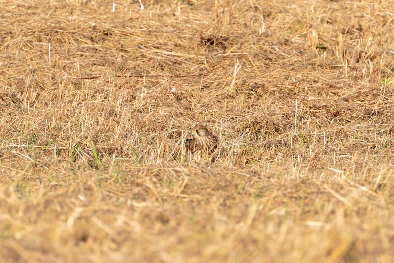 Common Kestrel Falco tinnunculus hunting stock images