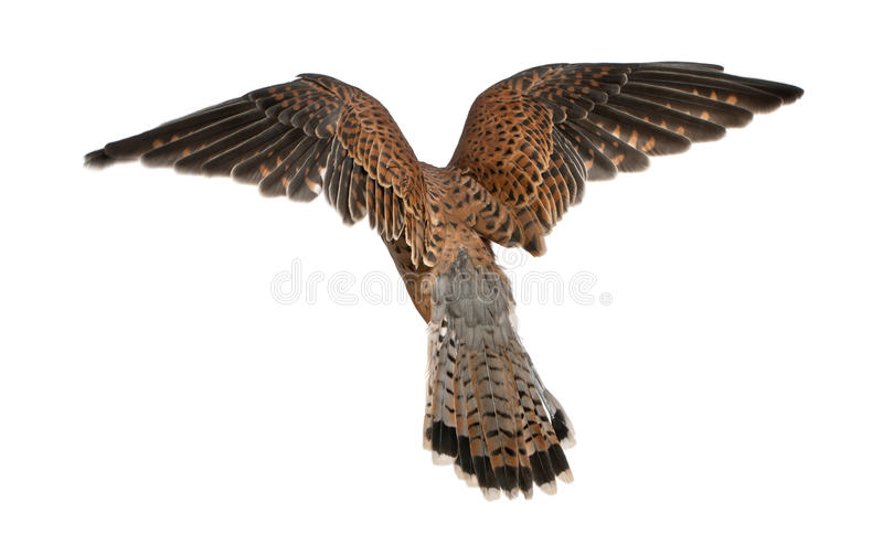 Common Kestrel, Falco tinnunculus. Flying in front of white background stock photos