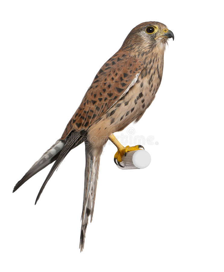 Common Kestrel, Falco tinnunculus. Perching in front of white background royalty free stock photo