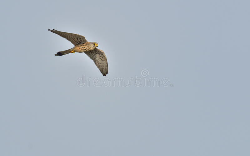 Common Kestrel, Falco tinnunculus royalty free stock photos
