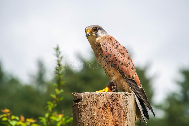 Common Kestrel Falco tinnunculus Chained to Perch. Animal Violence Concept royalty free stock images