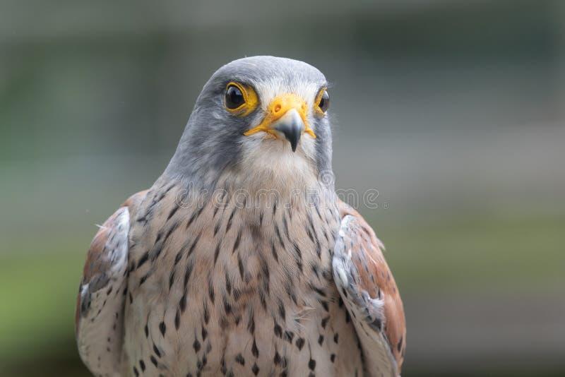 Common kestrel falco tinnunculus. Close up portrait of a common kestrel falco tinnunculus royalty free stock images