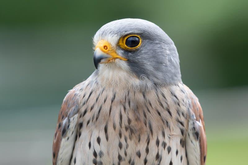 Common kestrel falco tinnunculus. Close up portrait of a common kestrel falco tinnunculus stock photo
