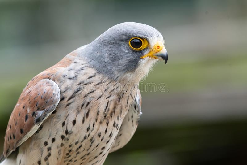 Common kestrel falco tinnunculus. Close up portrait of a common kestrel falco tinnunculus stock images