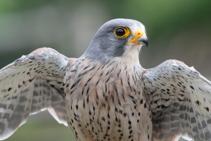 Common kestrel falco tinnunculus. Close up portrait of a common kestrel falco tinnunculus with open wings stock image
