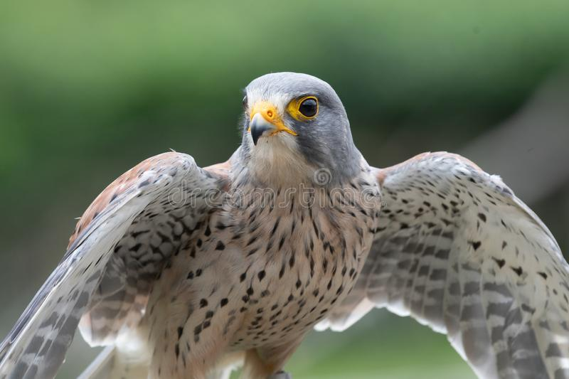 Common kestrel falco tinnunculus. Close up portrait of a common kestrel falco tinnunculus with open wings royalty free stock photography