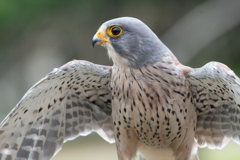 Common kestrel falco tinnunculus. Close up portrait of a common kestrel falco tinnunculus with open wings royalty free stock photos