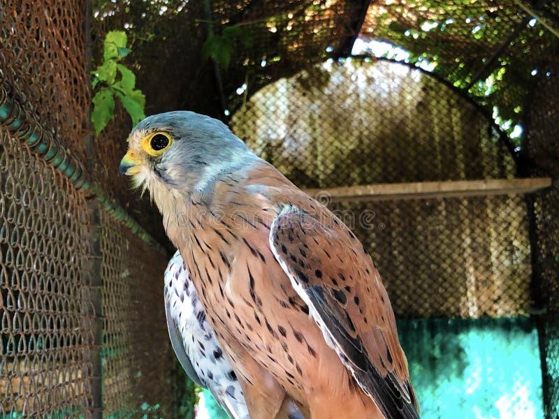 The common kestrel Falco tinnunculus, The European kestrel, Eurasian kestrel, Old World kestrel, Der Turmfalke stock photography