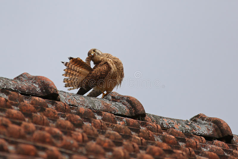 Common kestrel, Falco Tinnunculus stock photo