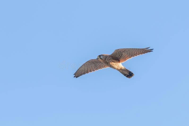 Common Kestrel Falco tinnunculus. Common Kestrel in flight. Wildlife royalty free stock photography