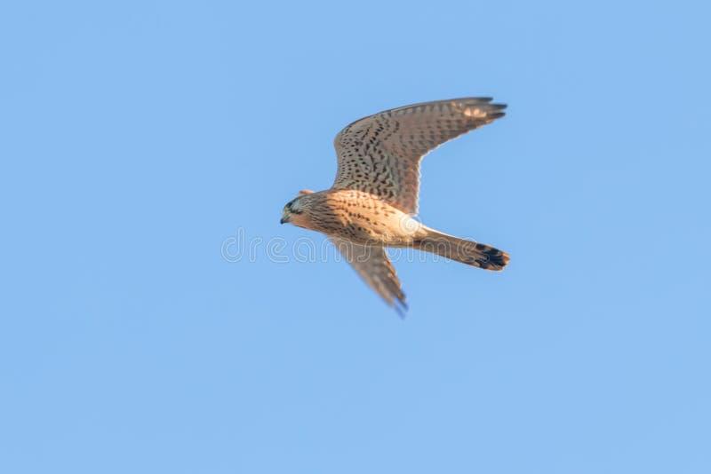 Common Kestrel Falco tinnunculus. Common Kestrel in flight. Wildlife royalty free stock photo