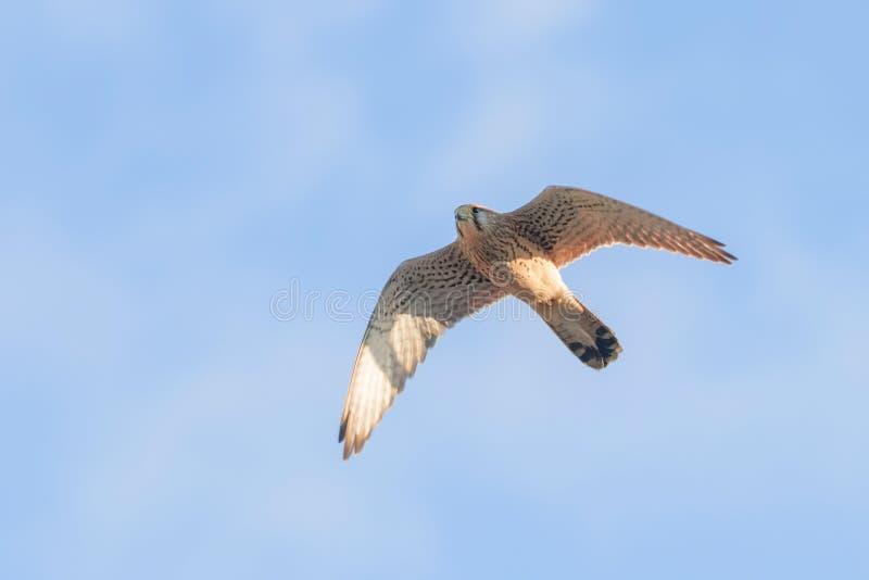 Common Kestrel Falco tinnunculus. Common Kestrel in flight. Wildlife royalty free stock images