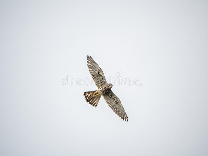 Common kestrel Falco tinnunculus in flight 1 royalty free stock photo