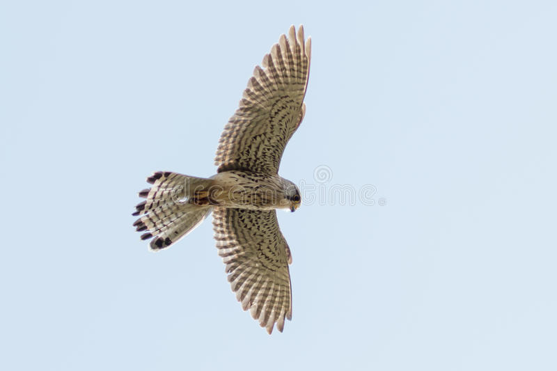 Common Kestrel (Falco tinnunculus) royalty free stock image