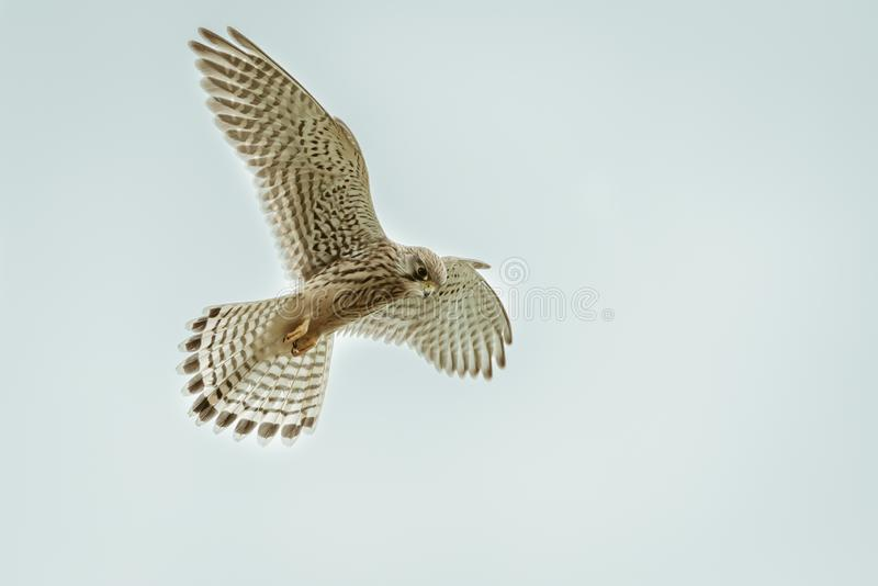 Common Kestrel Falco tinnunculus hovering royalty free stock image