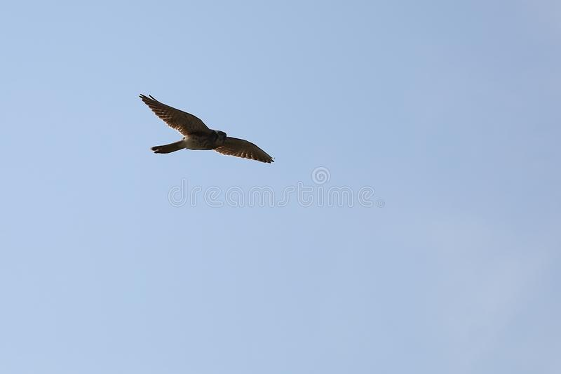 Common kestrel Falco tinnunculus hunting in the wilds. Bird of prey flying in natural habitat. royalty free stock image
